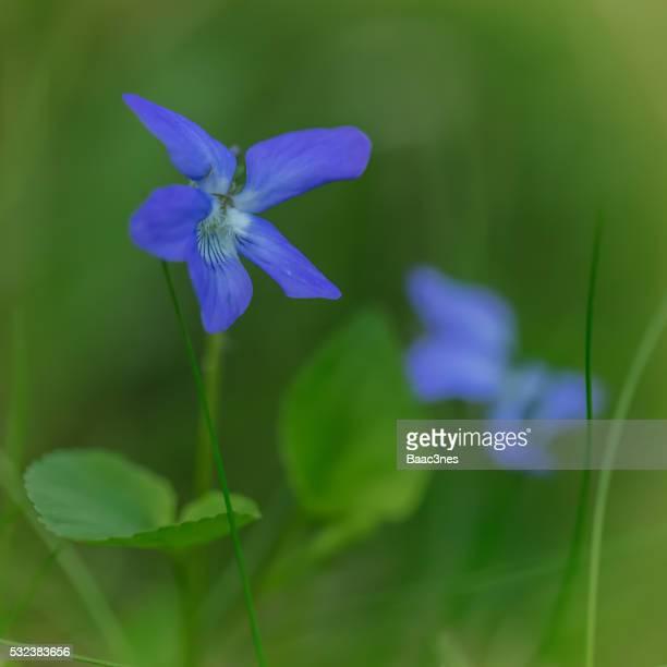 finally springtime again - wild flowers in the forest - verwaltungsbezirk buskerud stock-fotos und bilder