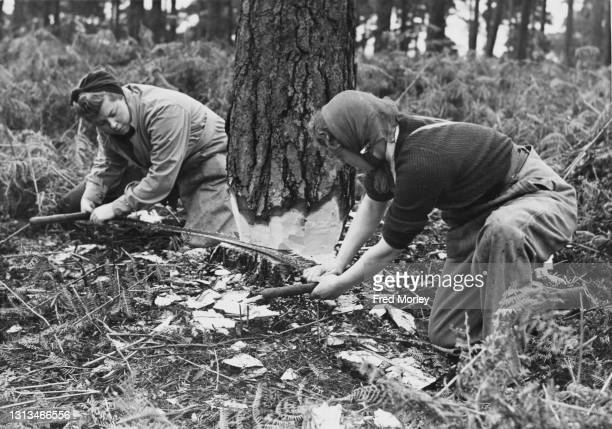 Finch and H Whittaker, members of the Women's Timber Corps of the Women's Land Army at work using a cross cut saw to fell a tree to be used as pit...