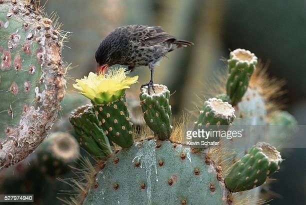 Finch Eating Nectar From a Cactus Flower
