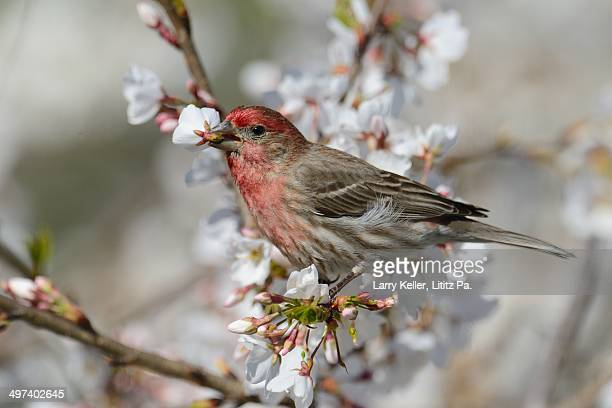finch in a cherry tree - house finch stock pictures, royalty-free photos & images