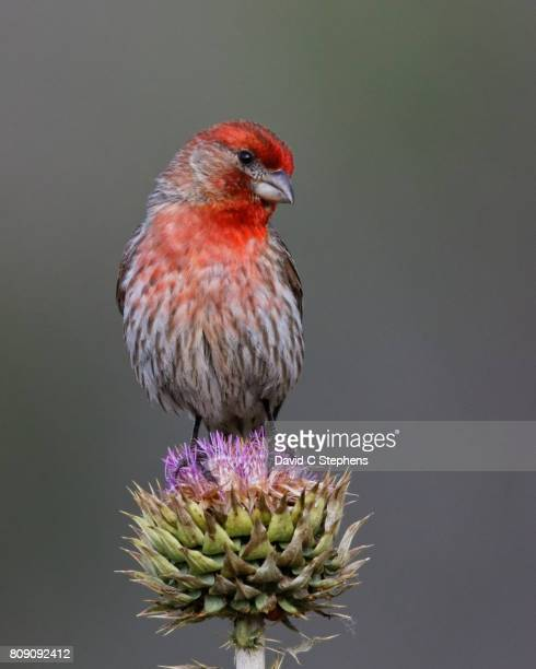 finch poses on thistle - house finch stock pictures, royalty-free photos & images