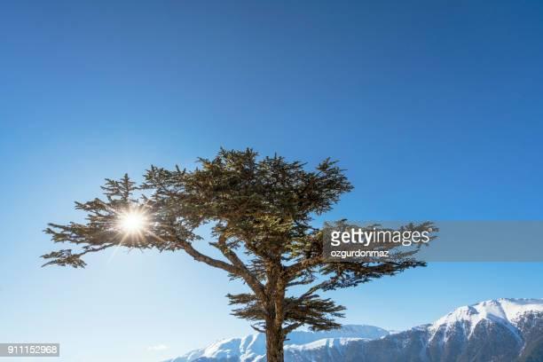 find & replace cedar tree (cedrus libani) - cedar tree stock photos and pictures