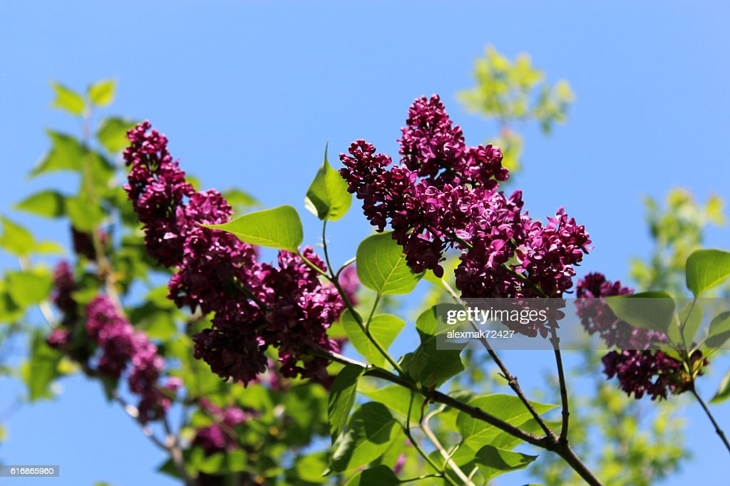 Fine branches of lilac : Stock Photo
