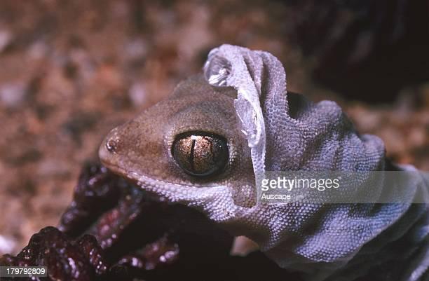 Finefaced gecko Diplodactylus pulcher shedding skin Bank Rock Western Australia