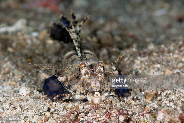 Fingered Dragonet, Dactylopus dactylopus, Lembeh Strait, North Sulawesi, Indonesia