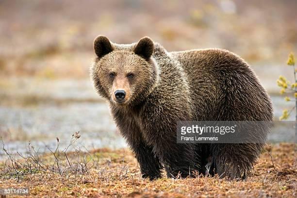 Finland, Brown bear.