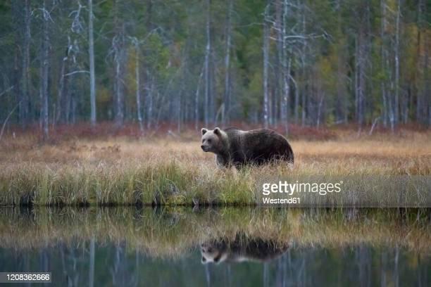 finland, kainuu, kuhmo, brown bear(ursusarctos)standing on grassylakeshorein autumn taiga - meeroever stockfoto's en -beelden