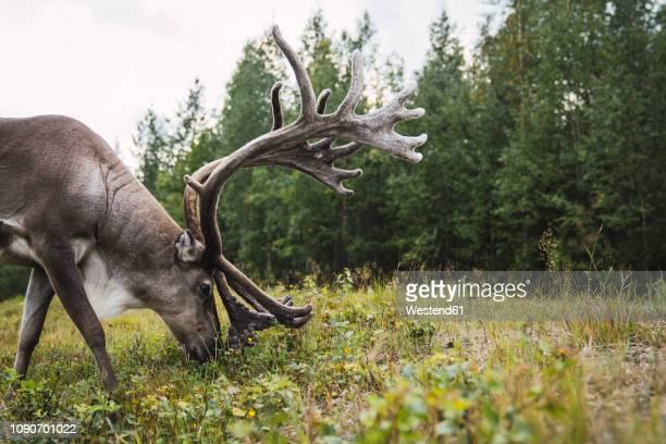 finland, lapland, reindeer grazing in rural landscape - tundra stock-fotos und bilder