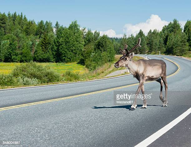finland, lapland, road to rovaniemi, reindeer crossing the street - rentier stock-fotos und bilder