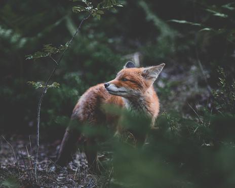 A Finnish fox 1173399967