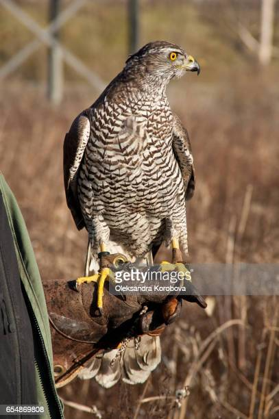 Finnish goshawk before the hunt.