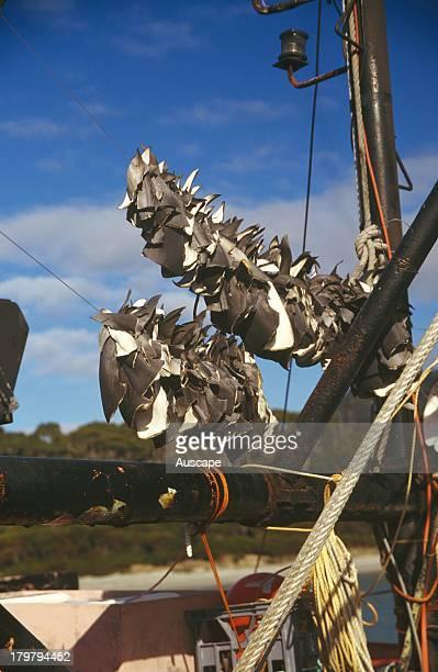 Fins from sharks caught as bycatch on a tuna long line drying on a fishing boat Pirates Bay Tasman Peninsula Tasmania Australia
