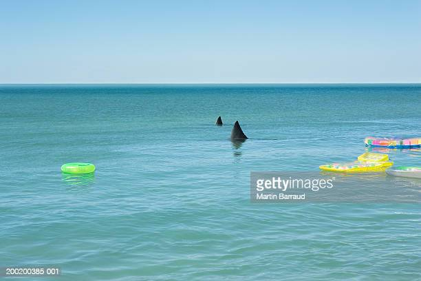 Fins of Great white sharks breaking surface of sea by inflatable toys