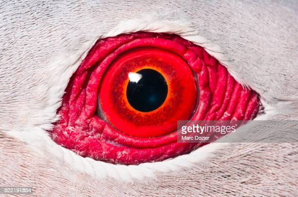 finsch's imperial pigeon eye - animal stock pictures, royalty-free photos & images