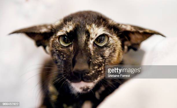 Fiordiliso Satanc Verses, an oriental shorthair tortie is seen at Merseyside Cat Club GCCF all breeds championship show at Sutton Leisure Centre on...