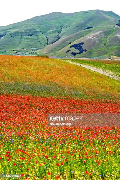 fioriture delle lenticchie nella piana di castelluccio - ノルチャ ストックフォトと画像