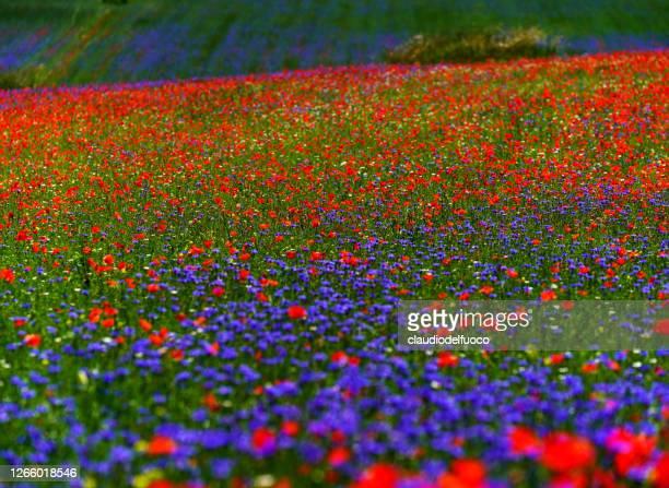 fioriture delle lenticchie nella piana di castelluccio - castelluccio di norcia foto e immagini stock