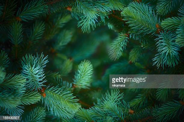fir branch background - spruce tree stock pictures, royalty-free photos & images