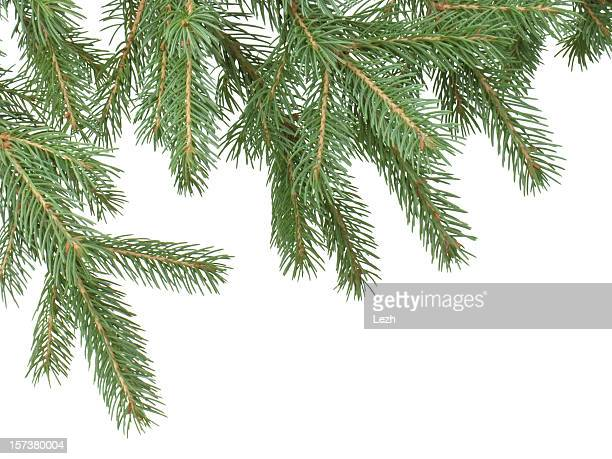 fir branch - branch stock pictures, royalty-free photos & images