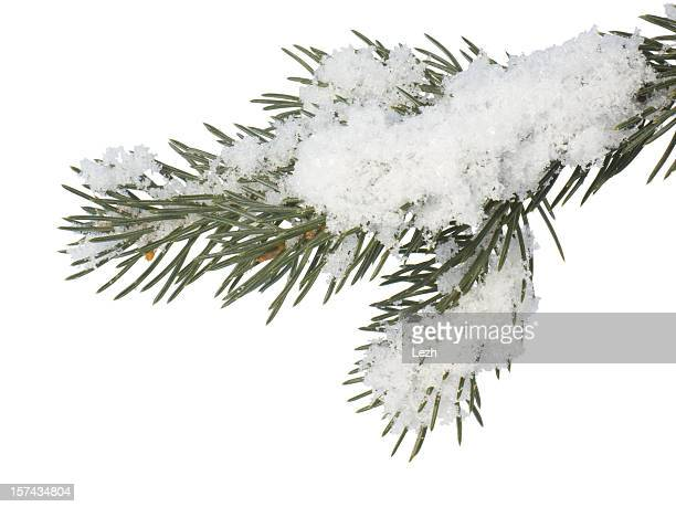 fir branch - twig stock pictures, royalty-free photos & images