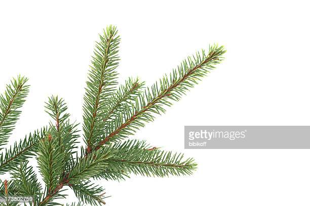 fir branch - evergreen stock pictures, royalty-free photos & images