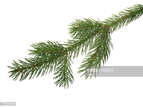 fir branchlet - spruce tree stock pictures, royalty-free photos & images