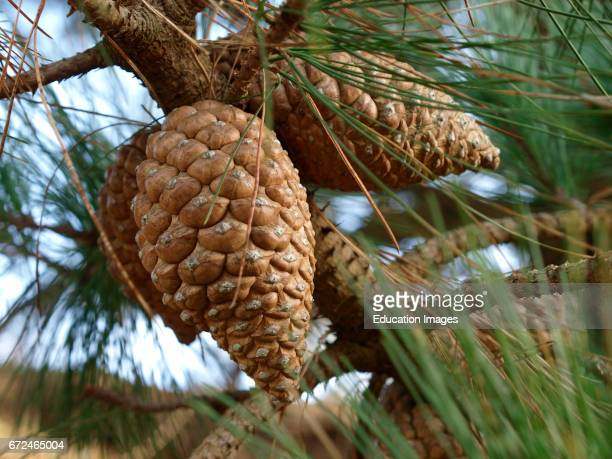 Fir cone probably Maritime pine Pinus pinaster Cornwall UK