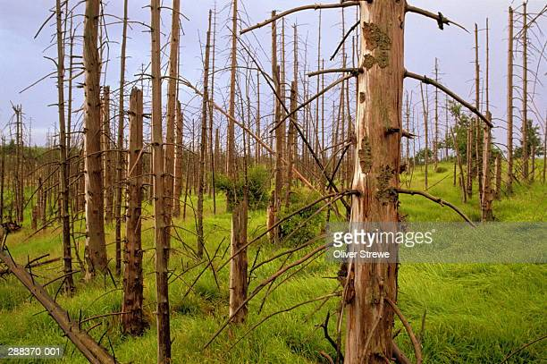 fir forest damaged by acid rain, most, czech republic - acid rain stock photos and pictures