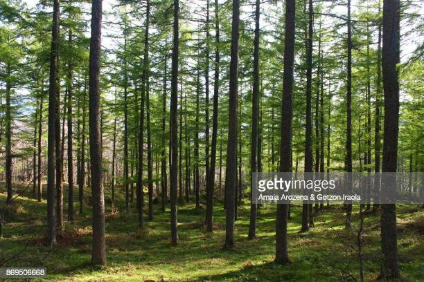 Fir forest in spring