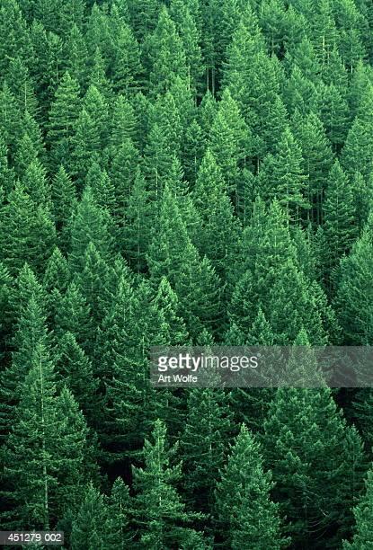 Fir forest (Abies sp.), Washington, USA, full frame, aerial view