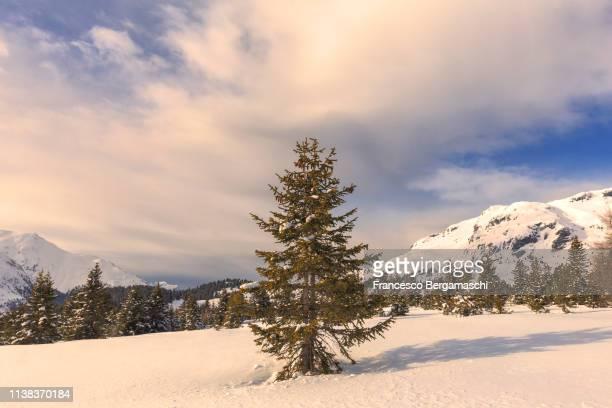 Fir illuminated by the warm light of the sunset. Alp Flix, Sur, Surses, Parc Ela, Region of Albula, Canton of Graubünden, Switzerland, Europe.