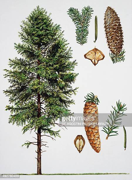 Fir Pinaceae tree leaves and fruits illustration