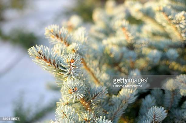 A fir tree branch with sun light