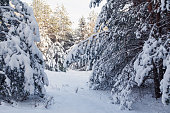 Fir tree branches covered with lot of snow in forest. Winter landscape background