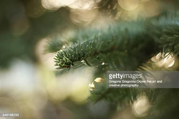 fir tree - gregoria gregoriou crowe fine art and creative photography stockfoto's en -beelden