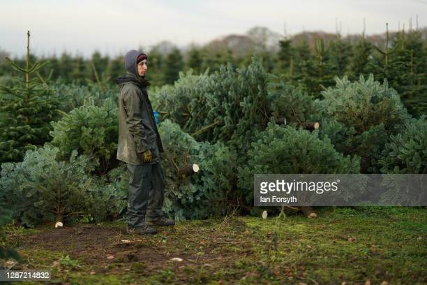 Fir trees at York Christmas Trees wait to be passed through a netting machine on November 23 2020 in York England York Christmas Trees have this year...