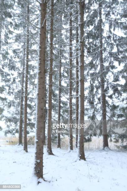 Fir trees covered in snow in Finland