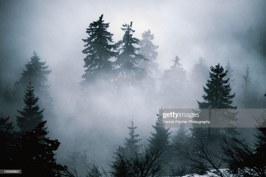 Fir trees hiding in evening mist : Stock-Foto
