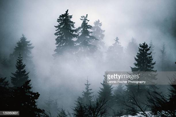 fir trees hiding in evening mist - nebel stock-fotos und bilder
