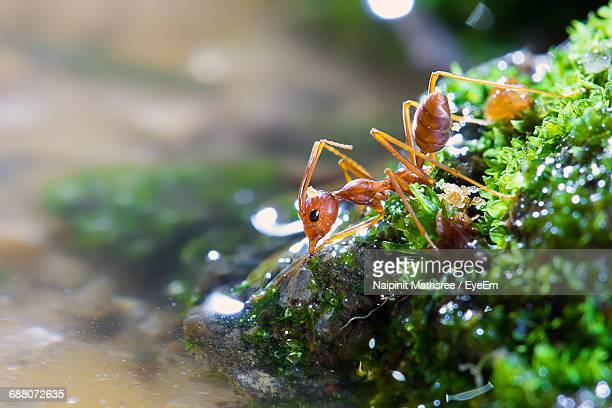 Fire Ant On Plants By Water