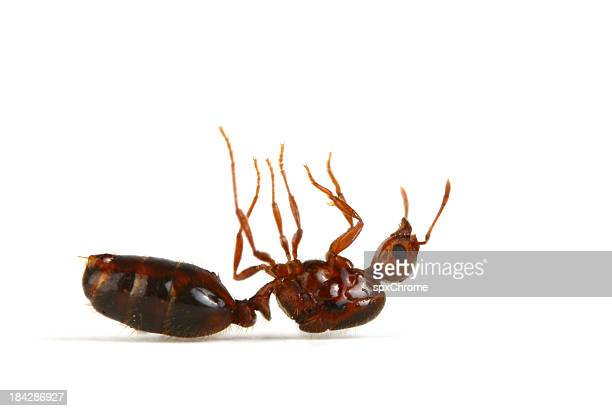 fire ant - dead stock pictures, royalty-free photos & images