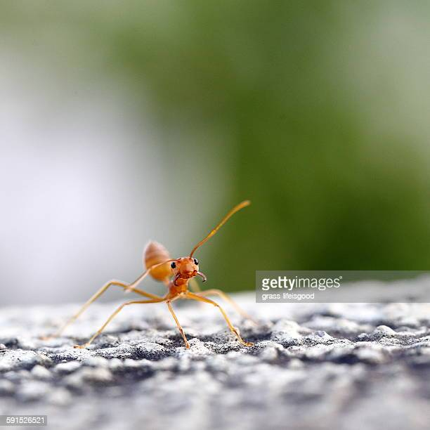 Fire Ant with Blurry Background