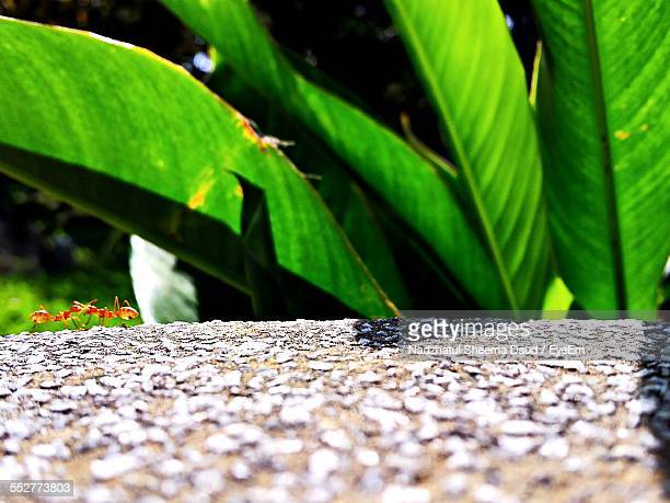 Fire Ants On Pathway Against Plant