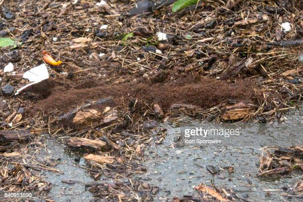 Fire ants trying to survived the flood waters during Hurricane Harvey Monday August 29 2017