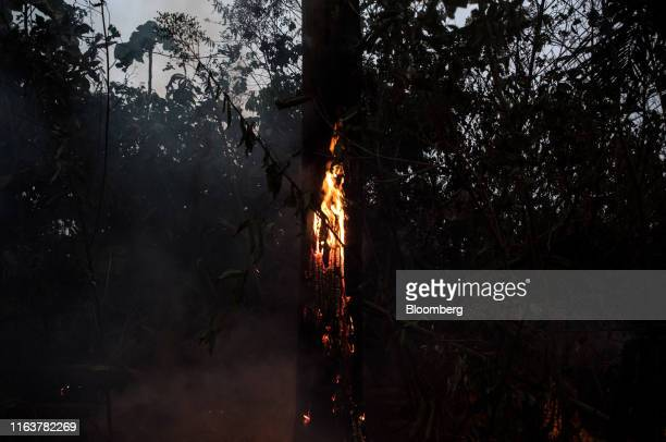 A fire burns down a tree in the Amazon rainforest in Porto Velho Rondonia state Brazil on Saturday Aug 24 2019 The world's largest rainforest...