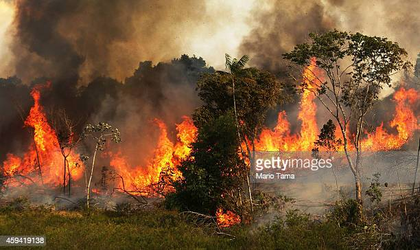 A fire burns trees next to grazing land in the Amazon basin on November 22 2014 in Ze Doca Brazil Fires are often set by ranchers to clear shrubs and...