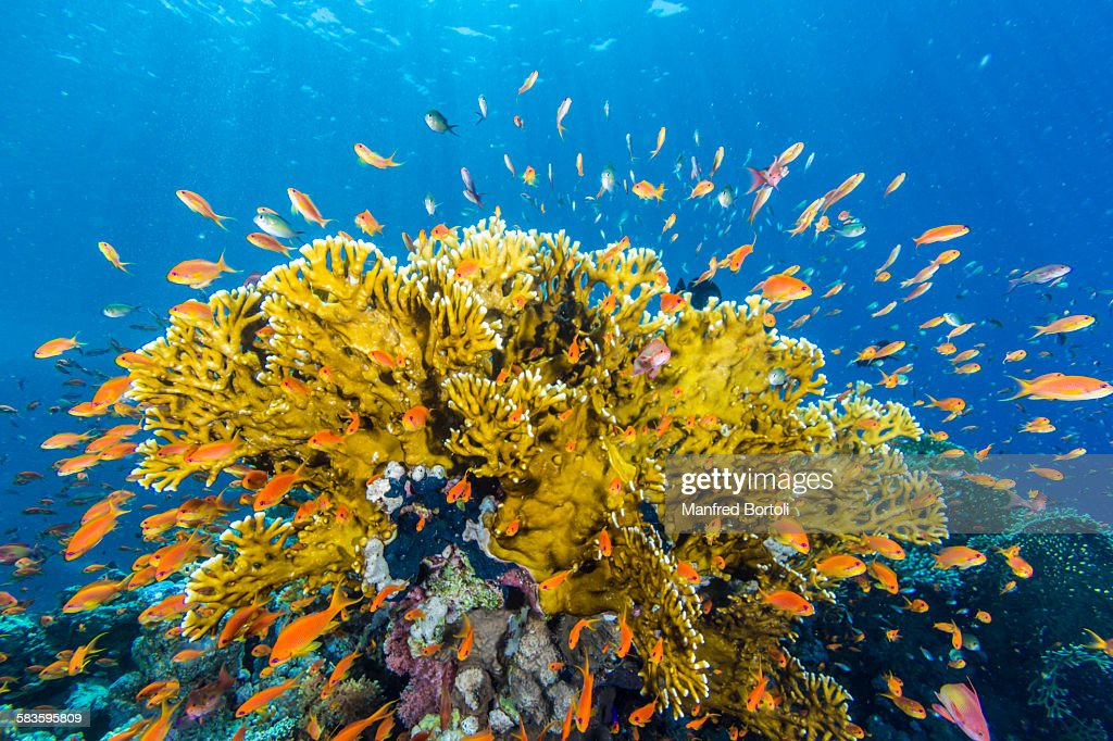 Fire coral and red fish : Stock Photo