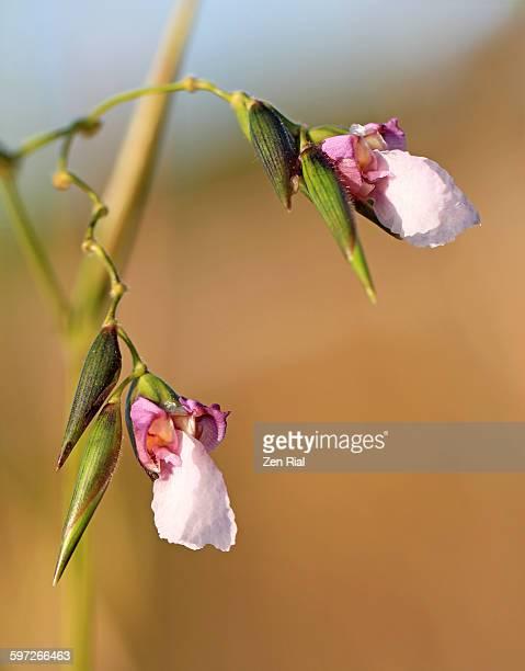 Fire flag or thalia geniculata blossoms close up