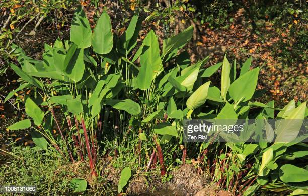Fire flag (Thalia geniculata) plants thriving in a wetland in Florida