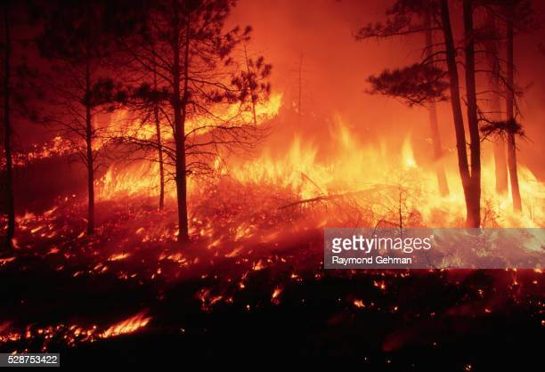 fire in a ponderosa pine forest - burning stock pictures, royalty-free photos & images